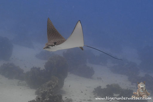 Gefleckter Adlerrochen / spotted eagle ray / Aetobatus narinari / Godda Abu Ramada East - Hurghada - Red Sea / Aquarius Diving Club