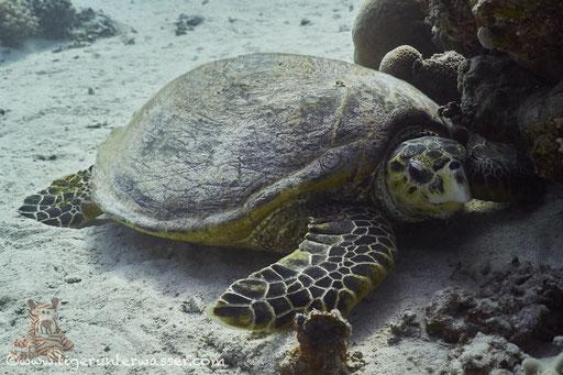 Echte Karettschildkröte / hawksbill sea turtle / Eretmochelys imbricata / Fanadir South - Hurghada - Red Sea / Aquarius Diving Club
