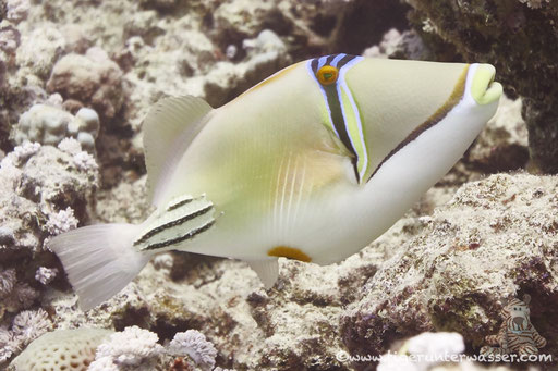 Arabischer Picassodrücker / Picasso triggerfish / Rhinecanthus assasi / Discha - Makadi Bay - Red Sea / Aquarius Diving Club