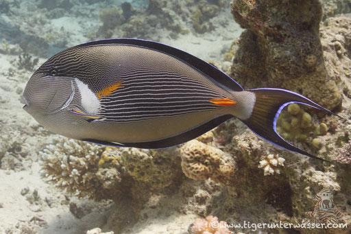 Arabischer Doktorfisch / Sohal surgeonfish / Acanthurus sohal / Abu Ramada South - Hurghda - Red Sea / Aquarius Diving Club