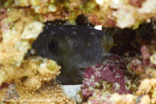 Gelbflecken Igelfisch / Spotbase burrfish / Cyclichthys spilostylus / Godda Abu Ramada West - Hurghada - Red Sea / Aquarius Diving Club