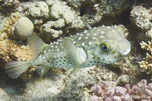 Gelbflecken Igelfisch / Spotbase burrfish / Cyclichthys spilostylus / Hurghada - Red Sea / Aquarius Diving Club