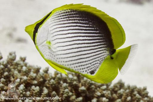Schwarzrücken Falterfisch / blackback butterflyfish / Chaetodon melannotus / Small Giftun - Hurghada - Red Sea / Aquarius Diving Club