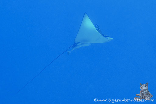 Gefleckter Adlerrochen / spotted eagle ray / Aetobatus narinari / Disha - Makadi Bay - Red Sea / Aquarius Diving Club