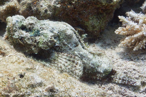 Buckliger Drachenkopf / false stonefish / Scorpaenopsis diabolus / Hurghada - Red Sea / Aquarius Diving Club