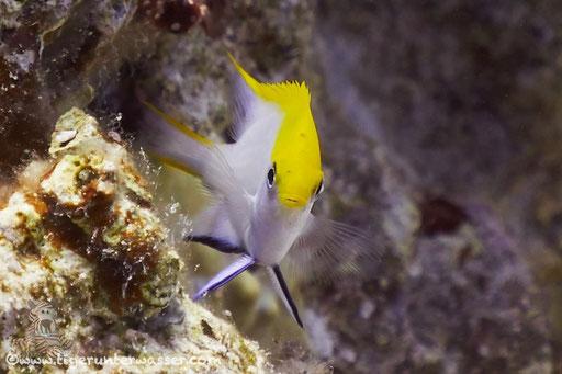 Schwarzer Riffbarsch Juv. / Neoglyphidodon Melas Juv.  / Godda Abu Ramada East - Hurghada - Red Sea / Aquarius Diving Club