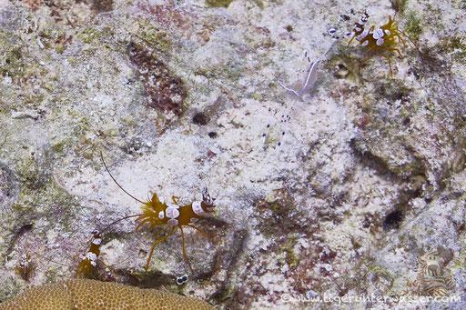 Hohlkreuzgarnele / squat shrimp or sexy shrimp / Thor amboinensis / Sakhwat Abu Galawa - Hurghada - Red Sea / Aquarius Diving Club