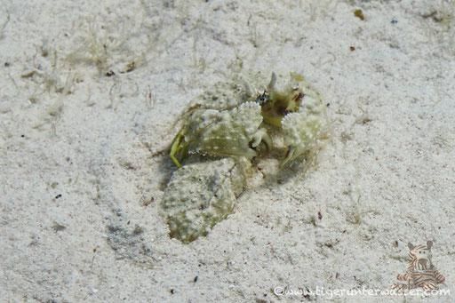 Leber Boxerkrabbe / box crab / Calappa hepatica / Fanus West - Hurghada - Red Sea / Aquarius Diving Club