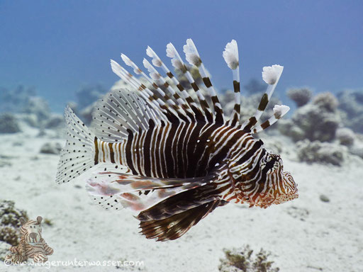 Indischer Rotfeuerfisch / common lionfish or devil firefish / Pteriois miles / Small Giftun - Hurghada - Red Sea / Aquarius Diving Club