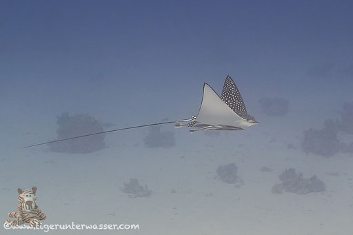 Gefleckter Adlerrochen / spotted eagle ray / Aetobatus narinari / Fanadir Süd - Hurghada - Red Sea / Aquarius Diving Club