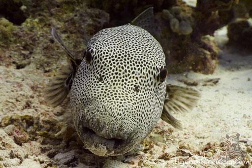Riesen Kugelfisch / starry puffer / Arothron stellatus / Ben El Gebal - Hurghada - Red Sea / Aquarius Diving Club