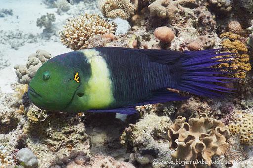 Besenschwanz Lippfisch / broomtail wrasse / Cheilinus lunulatus / Fanus West - Hurghada - Red Sea / Aquarius Diving Club