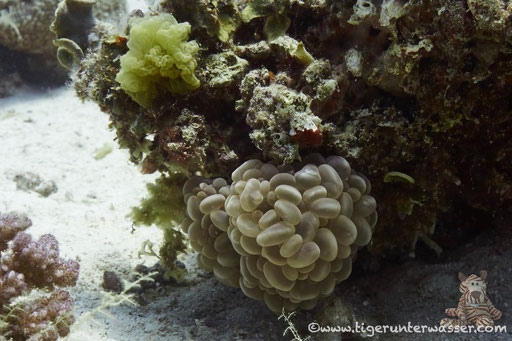 Blasenkoralle / Bubble coral / Plerogyra sinuosa / - Hurghada - Red Sea / Aquarius Diving Club