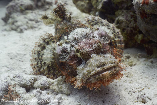 Fransiger Drachenkopf / tassled scorpionfish / Scorpaeopsis oxycephala / Fanadir Nord - Hurghada - Red Sea / Aquarius Diving Club