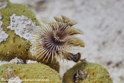 Weihnachtsbaum Röhrenwurm / Christmas tree worms / Spirobranchus giganteus / Fanus West - Hurghada - Red Sea / Aquarius Diving Club