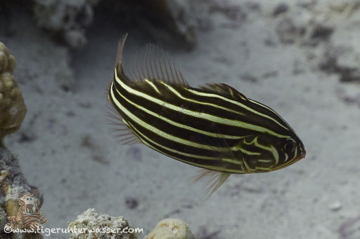 Sechsstreifen Seifenbarsch - Six-Lined Soapfish - Grammistes sexlineatus / Fanadir Süd - Hurghada - Red Sea - Aquarius Diving Club