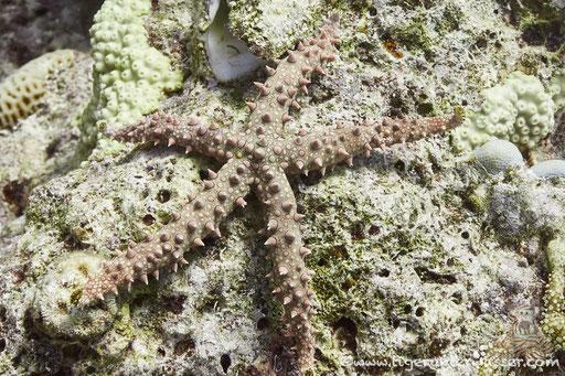 Dornen Seestern / Noduled sea star / Fromia nodosa / Abu Ramada Süd - Hurghada - Red Sea / Aquarius Diving Club