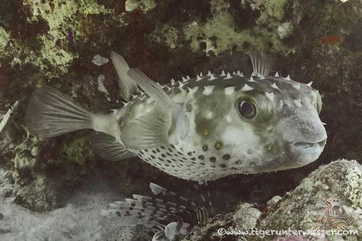 Gelbflecken Igelfisch / Spotbase burrfish / Cyclichthys spilostylus / Abu Ramada Süd - Hurghada - Red Sea / Aquarius Diving Club