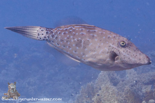 Schrift Feilenfisch / scrawled filefish / Aluterus scriptus / - Hurghada - Red Sea - Aquarius Diving Club