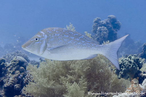 Blauschuppen Strassenkehrer / Spangled emperor / Lethrinus nebulosus /  Abu Ramada Süd Hurghada - Red Sea / Aquarius Diving Club