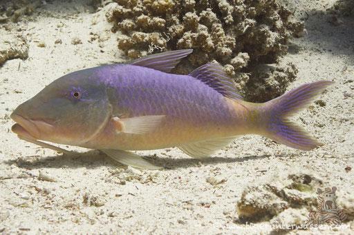 Zitronen Barbe / goldsaddle goatfish or yellowsaddle goatfish / Parupeneus cyclostomus / Ben El Gebal - Hurghada - Red Sea / Aquarius Diving Club