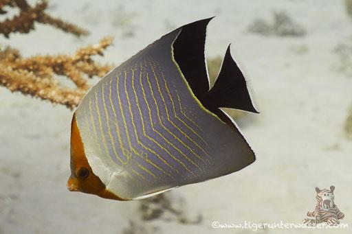 Rotkopf-Falterfisch / Orangeface Butterflyfish / Chaetodon larvatus / Godda Abu Galawa - Hurghada - Red Sea / Aquarius Diving Club