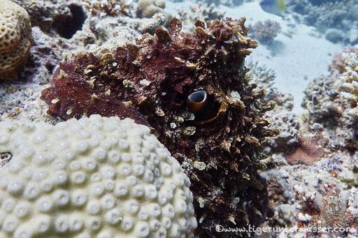 Roter Krake / common reef octopus or big blue octopus / Octopus cyaneus / Fanus Ost - Hurghada - Red Sea / Aquarius Diving Club