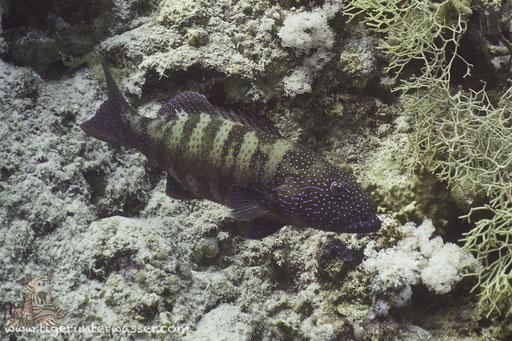 Rotmeer Forellenbarsch / Roving Coralgrouper / Plectropomus pessuliferus / Disha - Makadi Bay - Red Sea / Aquarius Diving Club