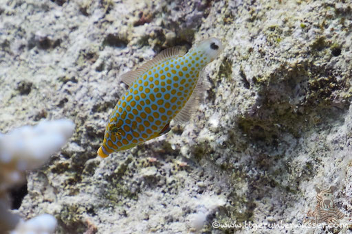 Rotmeer Palettenstachler / Red Sea longnose filefish / Oxymonacanthus halli / Erg Talata - Hurghada - Red Sea - Aquarius Diving Club