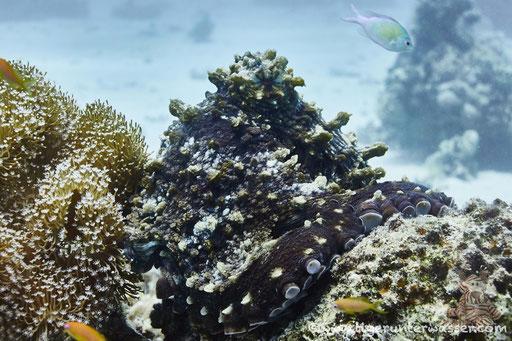 Roter Krake / common reef octopus or big blue octopus / Octopus cyaneus / Sakhwat Abu Galawa - Hurghada - Red Sea / Aquarius Diving Club