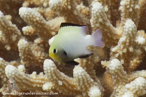 Arabischer Preussenfisch / Dascyllus marginatus / Erg Talata - Hurghada - Red Sea - Hurghada - Red Sea / Aquarius Diving Club
