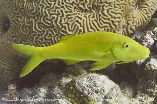 Zitronen Barbe / goldsaddle goatfish or yellowsaddle goatfish / Parupeneus cyclostomus / Shaab Sabina - Hurghada - Red Sea / Aquarius Diving Club