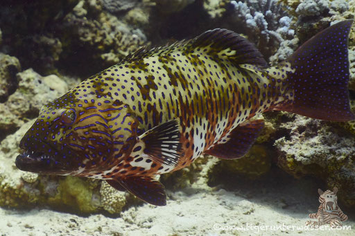 Rotmeer Forellenbarsch / Roving Coralgrouper / Plectropomus pessuliferus / Fanus East - Hurghada - Red Sea / Aquarius Diving