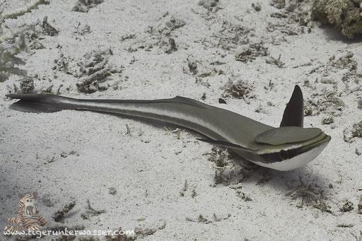 Gestreifter Schiffshalter / live sharksucker or slender sharksucker / Echeneis naucrates / Shabrul - Hurghada - Red Sea / Aquarius Diving Club