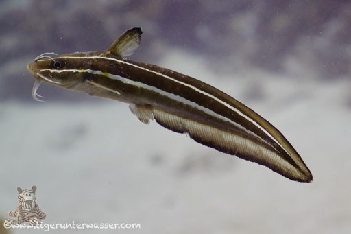 Gestreifter Korallenwels / Striped eel catfish / Plotosus lineatus / Small Giftun - Hurghada - Red Sea / Aquarius Diving Club