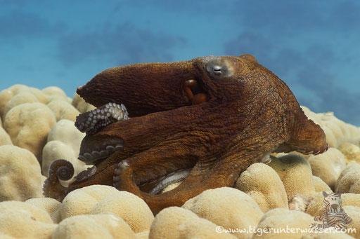 Roter Krake / common reef octopus or big blue octopus / Octopus cyaneus / Godda Abu Ramada East - Hurghada - Red Sea / Aquarius Diving Club