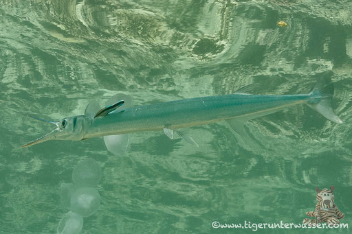 Rotmeer Hornhecht / Red Sea needlefish / Tylosurus choram / Hurghada - Red Sea / Aquarius Diving Club