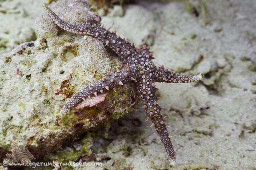 Dornen Seestern / Noduled sea star / Fromia nodosa / Erg Abu Ramada - Hurghada - Red Sea / Aquarius Diving Club