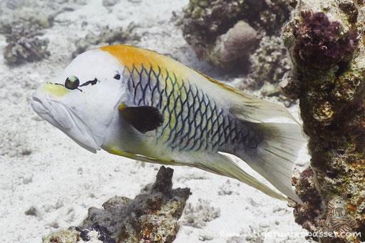 Stülpmaul Lippfisch / sling-jaw wrasse / Epibulus insidiator / Shaab Sabina - Hurghada - Red Sea / Aquarius Diving Club