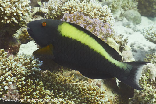 Masken Papageifisch ♀/ bicolour parrotfish / Cetosscarus bicolor / Shabrul - Hurghada - Red Sea / Aquarius Diving Club