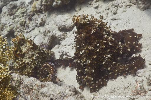 Roter Krake / common reef octopus or big blue octopus / Octopus cyaneus / Fanadir Nord - Hurghada - Red Sea / Aquarius Diving Club