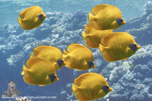 Masken Falterfisch / blue-cheeked butterflyfish / Chaetodon semilarvatus / Umm Kamar -Hurghada - Red Sea / Aquarius Diving Club
