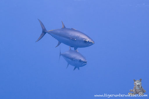 Gelbflossen Tunfisch / Yellowfin Tuna / Thunnus albacares / Shabrul - Hurghada - Red Sea - Aquarius Diving Club
