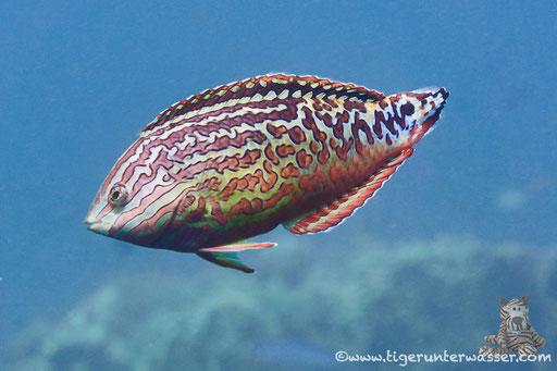 Diamant-Lippfisch / Maleleopard Wrasse / Macropharyngodon bipartitus / Erroug - Hurghada - Red Sea / Aquarius Diving Club