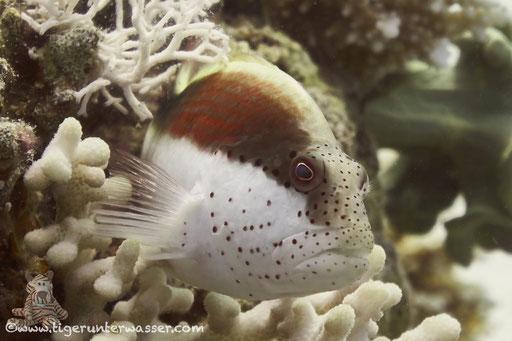 Gestreifter Korallenwächter / black-sided hawkfish / Paracirrhites forsteri /- Hurghda - Red Sea / Aquarius Diving Club