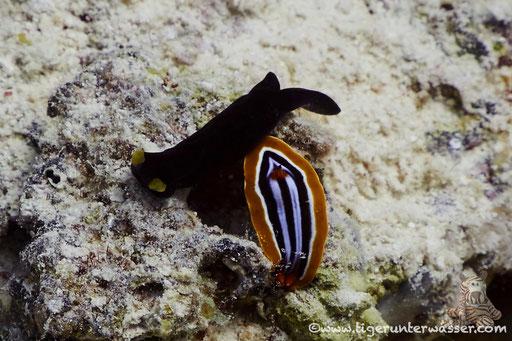 Gelblippen Kopfschild und Pyjama ;) / Chelidonura flavolabata / Marsa Abu Galawa - Hurghada - Red Sea / Aquarius Diving Club