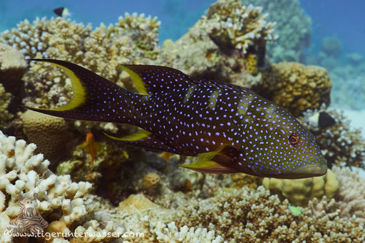 Mondsichel Juwelenbarsch / Yellow-edged lyretail / lyretail grouper - coronation cod / Variola louti / Godda Abu Ramada East - Hurghada - Red Sea / Aquarius Diving Club