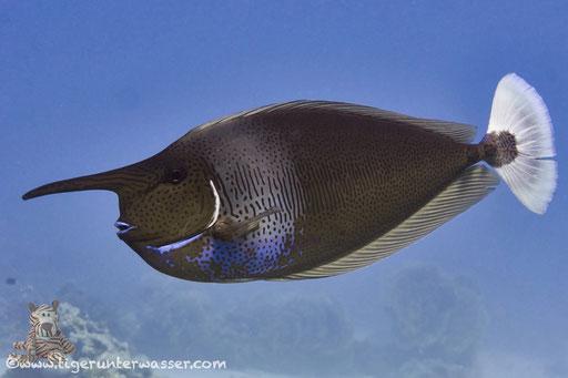 Schärpen Nasendoktor / spotted unicornfish / Naso brevirostris / Godda Abu Ramada East/West - Hurghda - Red Sea / Aquarius Diving Club