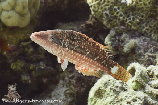 Seitenstreifen Lippfisch - Mental wrasse - Oxycheilinus mentalis / Fanus Ost - Hurghada - Red Sea / Aquarius Diving Club