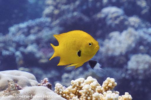 Schwefel-Demoiselle / Sulphur Damsel / Pomacentrus sulfureus / Godda Abu Ramada East - Hurghada - Red Sea / Aquarius Diving Club